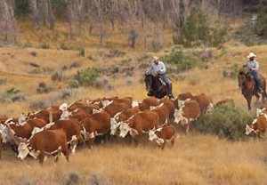 Hereford Ranchers